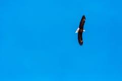 Águia subindo Fotografia de Stock Royalty Free