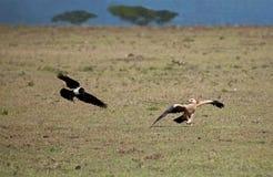 Águia Tawny e corvo Pied Imagens de Stock