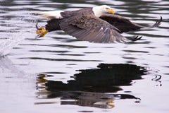 A águia trava um peixe. Fotos de Stock Royalty Free
