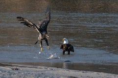 Águias americanas que lutam sobre peixes Fotografia de Stock Royalty Free