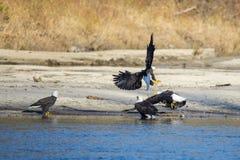 Águias americanas que lutam sobre peixes Fotos de Stock Royalty Free