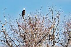 Águias americanas que olham da parte superior da árvore Foto de Stock
