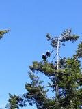 Águias emparelhadas Foto de Stock
