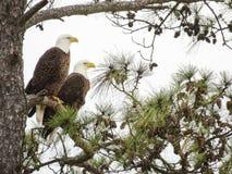 2 águias fotos de stock