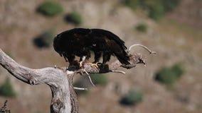 águias imperiais que alimentam em uma árvore video estoque