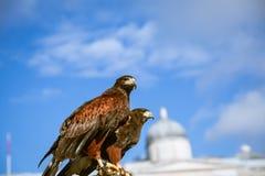 Águias majestosas em Londres Imagem de Stock Royalty Free