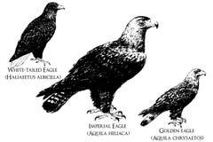 Águila stock de ilustración