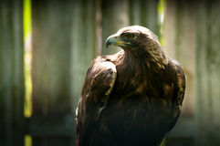 Águila Imagen de archivo