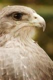 Águila #3 imágenes de archivo libres de regalías