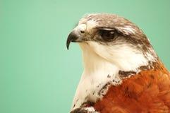 Águila #3 foto de archivo libre de regalías