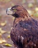 Águila Foto de archivo libre de regalías