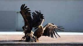 Águila 6 Foto de archivo libre de regalías