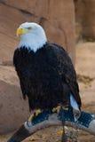 Águila Imagen de archivo libre de regalías