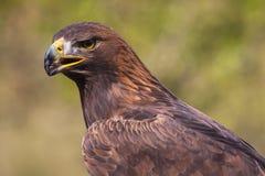 Águila #4 Imagen de archivo