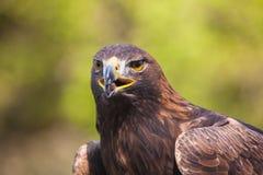 Águila #4 Foto de archivo libre de regalías
