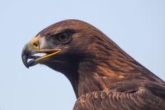Águila #4 Fotos de archivo