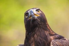 Águila #4 Imagen de archivo libre de regalías