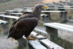 Águila 99 Fotografía de archivo libre de regalías