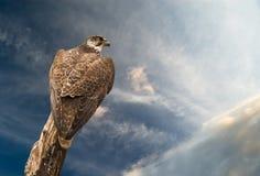 Águila abstracta del halcón bajo el cielo fotografía de archivo