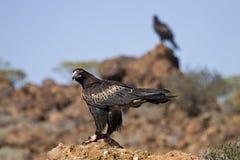 águila Acuñar-atada fotografía de archivo libre de regalías