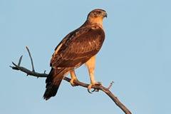 Águila africana del halcón Imagen de archivo libre de regalías