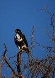 Águila africana del halcón Fotografía de archivo libre de regalías