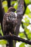 Águila ajustable del halcón Imagen de archivo