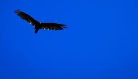 Águila altísima Imagenes de archivo