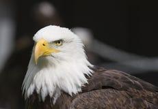 Águila americana Fotografía de archivo libre de regalías