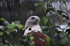 Águila americana Imagen de archivo libre de regalías