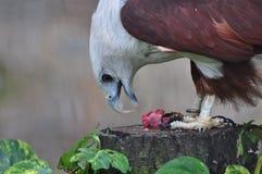 Águila americana Fotografía de archivo