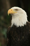Águila americana 2