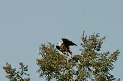 Águila americana Imagen de archivo