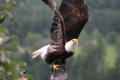 Águila americana con el halconero Imagen de archivo libre de regalías