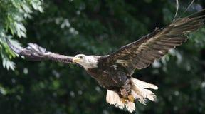 Águila americana en mosca Imágenes de archivo libres de regalías