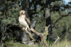 Águila anudada Fotografía de archivo libre de regalías