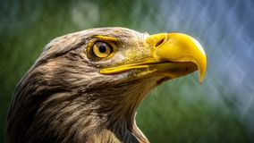 águila Blanco-atada imagenes de archivo