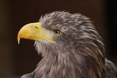 águila Blanco-atada Fotografía de archivo