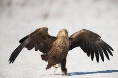 águila Blanco-atada imágenes de archivo libres de regalías