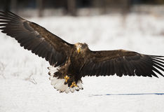 águila Blanco-atada fotografía de archivo libre de regalías