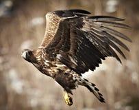 águila Blanco-atada Fotos de archivo