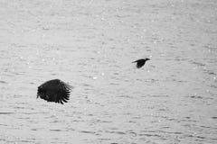 águila Blanco-atada foto de archivo libre de regalías