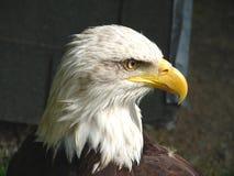 águila Blanco-atada Foto de archivo