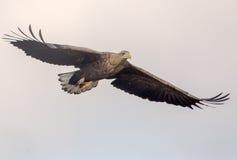 águila Blanco-atada Imagen de archivo libre de regalías