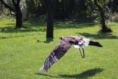 águila Blanco-atada imagen de archivo
