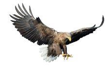 Águila blanco-atada adulto en vuelo Front View Aislado en el fondo blanco imágenes de archivo libres de regalías