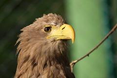 águila Blanco-atada, albicilla del haliaeetus Foto de archivo libre de regalías