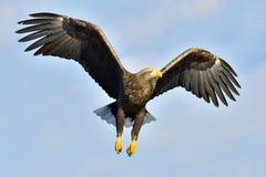 águila Blanco-atada en vuelo, pescando El adulto blanco-ató el albicilla del Haliaeetus del águila, también conocido como la NRE, Imágenes de archivo libres de regalías