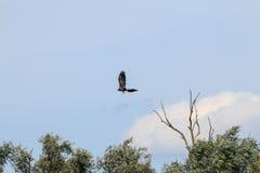 Águila Blanco-atada que vuela cerca del río IJssel, Holanda Foto de archivo