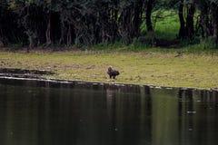 Águila Blanco-atada vigilante cerca del río IJssel, Holanda Foto de archivo